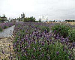 English Lavender var. Folgate