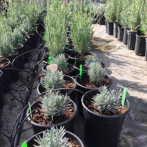 Live Lavender Plants