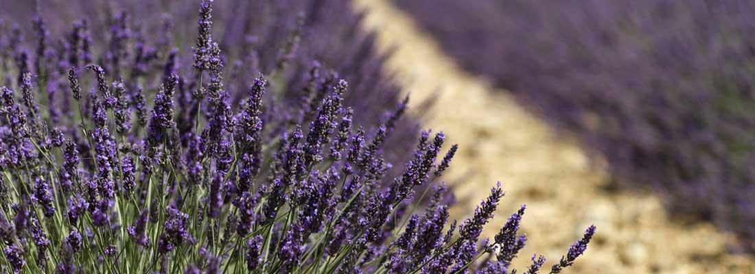 Lavender Slide1